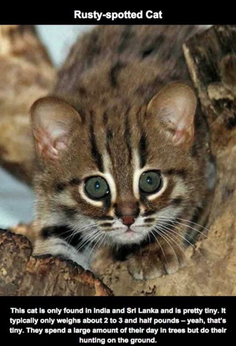 Cat - Rusty-spotted Cat This cat is only found in India and Srl Lanka and is pretty tiny. It typically only weighs about 2 to 3 and half pounds-yeah, that's tiny. They spenda large amount of their day in trees but do their hunting on the ground.
