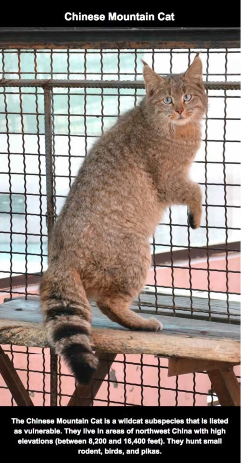 Cat - Chinese Mountain Cat The Chinese Mountain Cat is a wildcat subspecies that is listed as vulnerable. They live in areas of northwest China with high elevations (between 8,200 and 16,400 feet). They hunt small rodent, birds, and pikas.