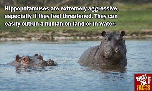 Terrestrial animal - Hippopotamuses are extremely aggressive, especially if they feel threatened. They can easily outrun a human on land or in water. WHAT THE A FACTS