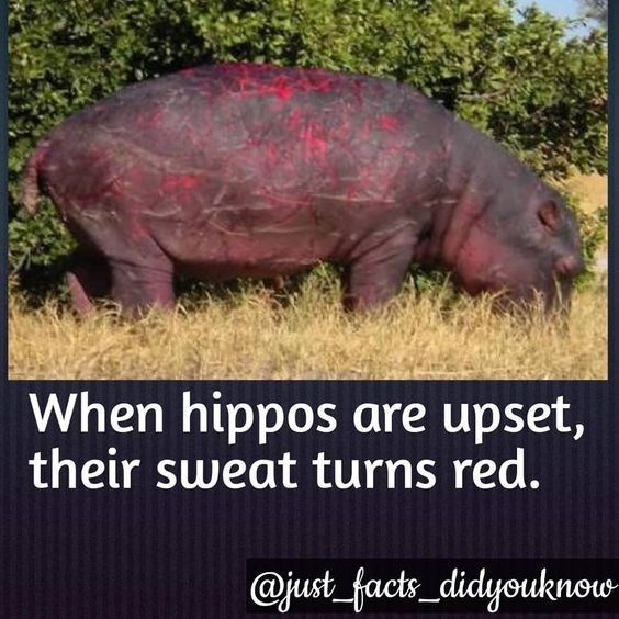 Organism - When hippos are upset, their sweat turns red. @just_facts didyouknow