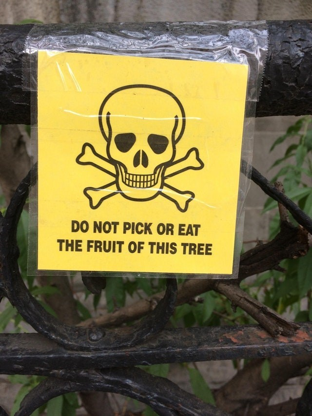 Yellow - DO NOT PICK OR EAT THE FRUIT OF THIS TREE