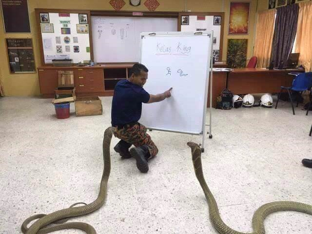 Python family - sunur 58 Kela King