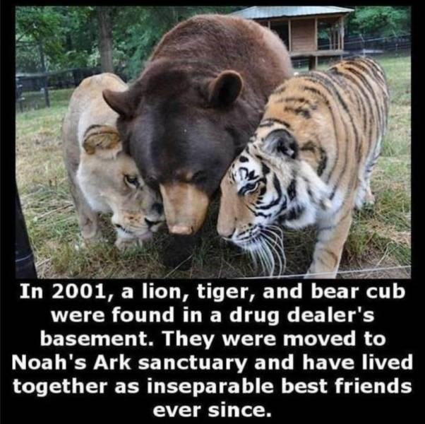 Vertebrate - In 2001, a lion, tiger, and bear cub were found in a drug dealer's basement. They were moved to Noah's Ark sanctuary and have lived together as inseparable best friends ever since.