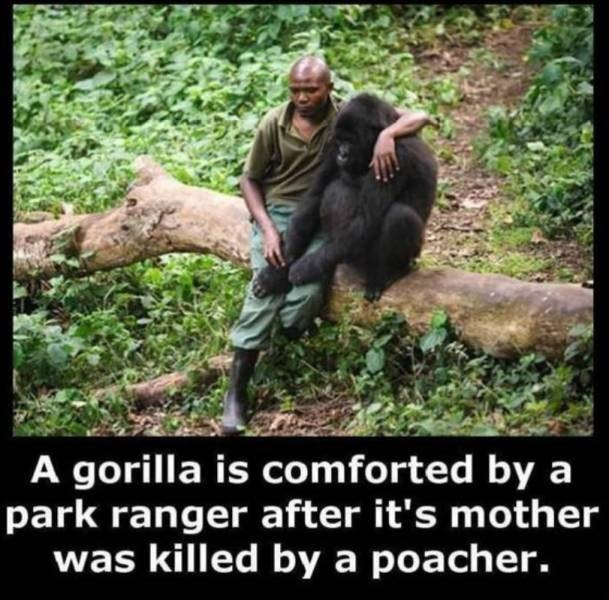 Wilderness - A gorilla is comforted by a park ranger after it's mother was killed by a poacher.