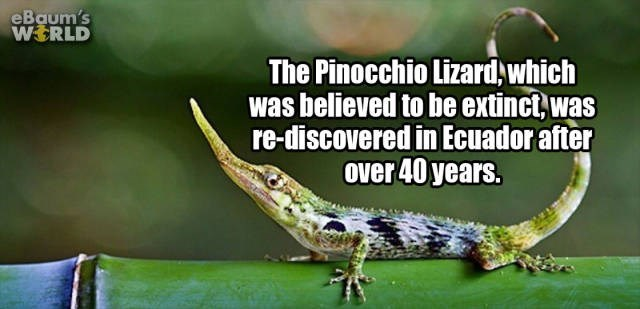 Reptile - eBaum's WERLD The Pinocchio Lizard which was believed to be extinct,was re-discovered in Ecuador after over 40 years.