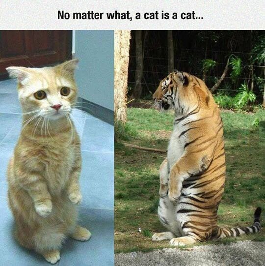 Caturday meme with side by side pics of a house cat and a tiger sitting similarly