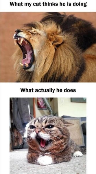 Caturday meme about a cat thinking he's a lion