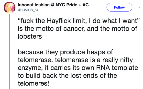 """crazy lobster fact - Text - labcoat lesbian @ NYC Pride AC Follow @JUNIUS_64 """"fuck the Hayflick limit, I do what I want"""" is the motto of cancer, and the motto of lobsters because they produce heaps of telomerase. telomerase is a really nifty enzyme, it carries its own RNA template to build back the lost ends of the telomeres!"""