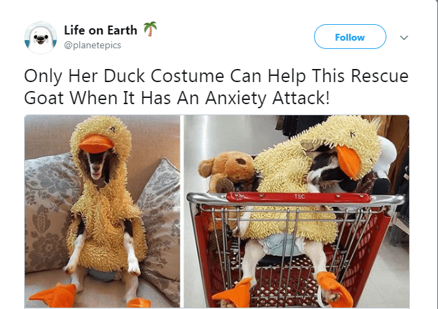 Product - Life on Earth Follow @planetepics Only Her Duck Costume Can Help This Rescue Goat When It Has An Anxiety Attack! TSC