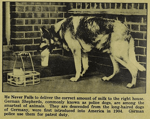 Vintage advertisement - He Never Fails to deliver the correct amount of milk to the right house. German Shepherds, commonly known as police dogs, are among the smartest of animals. They are descended from the long-haired dogs of Germany, were first introduced into America in 1904. police use them for patrol duty. German
