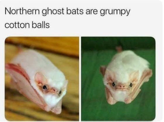 """Northern ghost bats are grumpy cotton balls"""