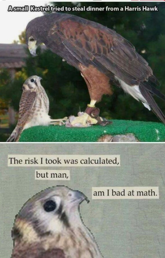 meme - Bird - Asmall Kestrel tried to steal dinner from a Harris Hawk The risk I took was calculated, but man, am I bad at math.