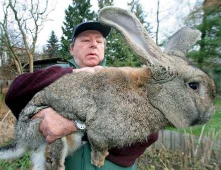 big rabbit that is huge