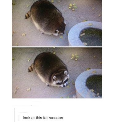Procyonidae - look at this fat raccoon