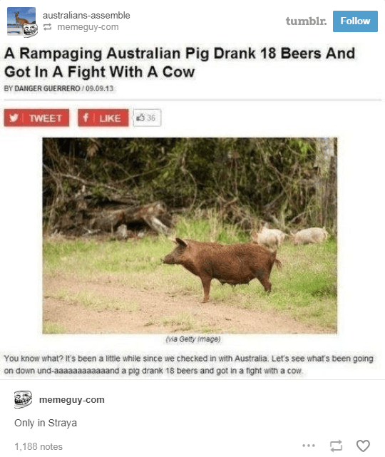 screenshot of news article about australian pig that drank 18 beers and got into a fight with a cow