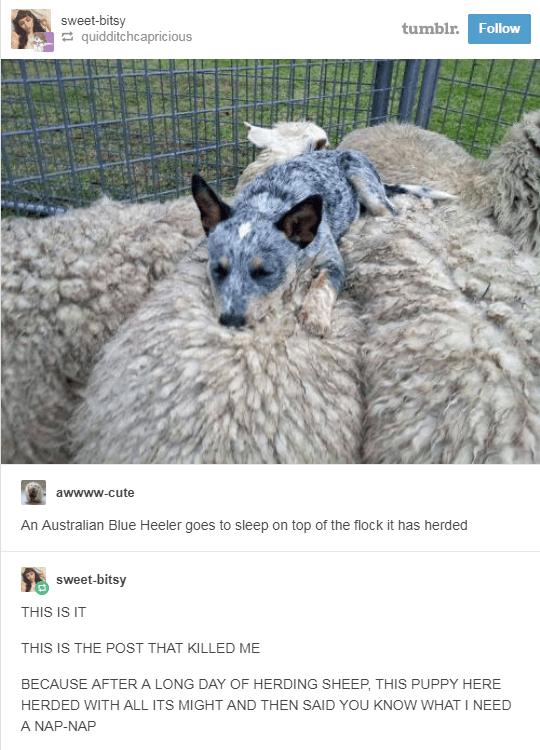 australian blue heeler dog asleep on sheep's back