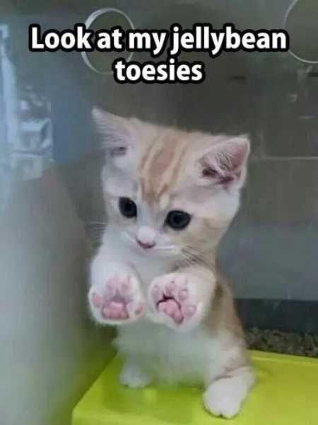 kitten meme - Cat - Look at my jellybean toesies