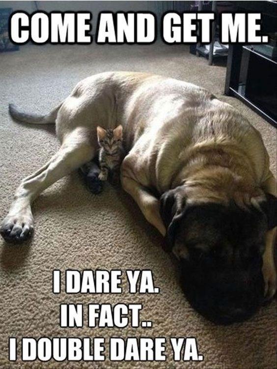 kitten meme - Dog - COME AND GET ME IDARE YA IN FACT I0OUBLE DARE YA