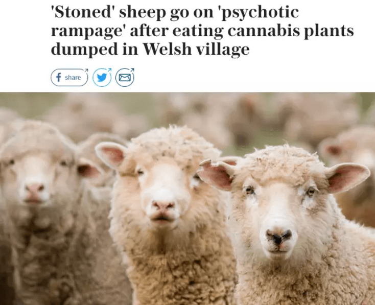 Sheep - 'Stoned' sheep go on 'psychotic rampage' after eating cannabis plants dumped in Welsh village f share