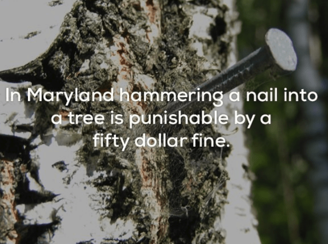 Tree - In Maryland hammering a nail into a tree is punishable by a fifty dollar fine