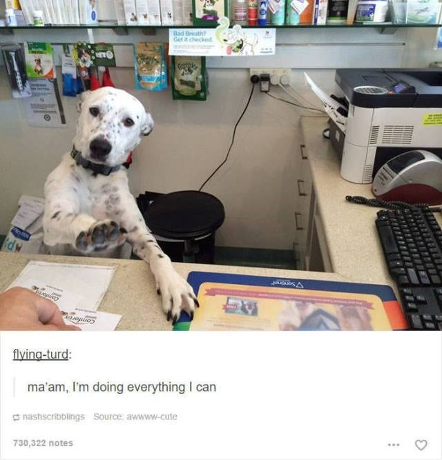 funny tumblr post animals white dog sitting behind desk like secretary putting up paw ma'am, I'm doing everything I can