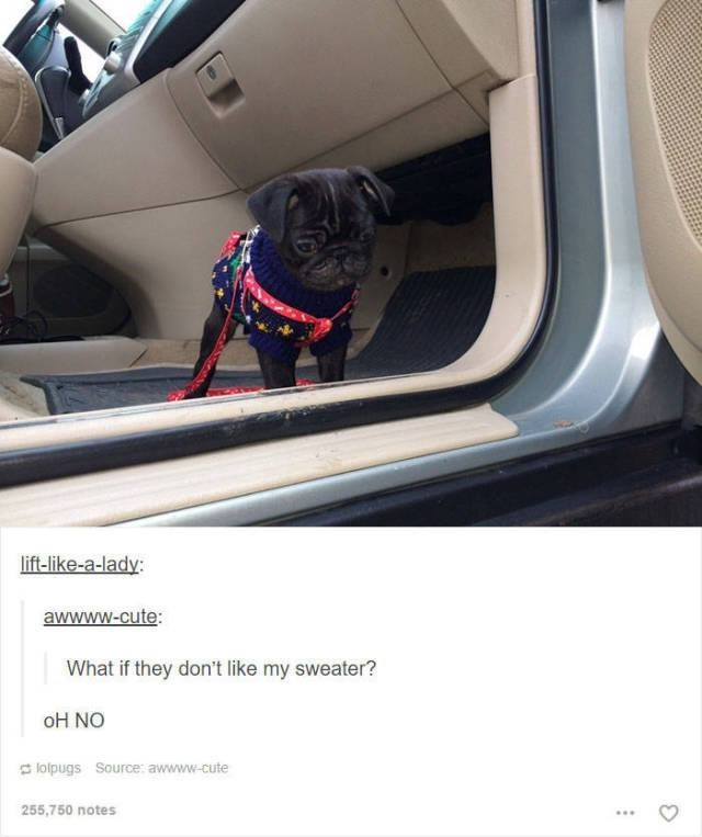 funny tumblr post animals small pug wearing sweater standing inside car What if they don't like my sweater? oH NO