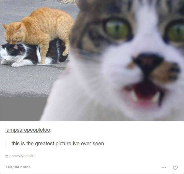 funny tumblr post animals close up of shocked cat in front of two cats mating behind it this is the greatest picture ive ever seen