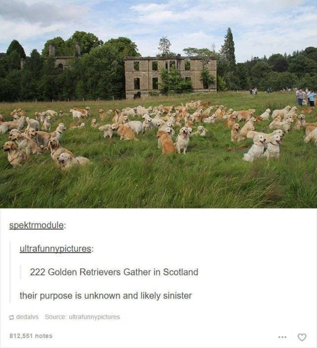funny tumblr post animals picture many golden retrievers sitting in field 222 Golden Retrievers Gather in Scotland their purpose is unknown and likely sinister