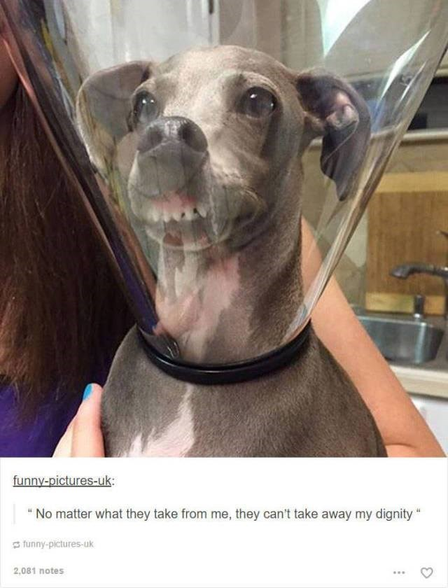 "funny tumblr post animals dog inside clear dog collar with its teeth showing ""No matter what they take from me, they can't take away my dignity"