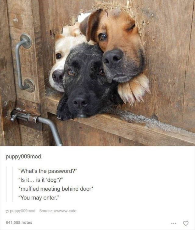 "three dogs poking their heads through a hole in a wooden fence funny tumblr post animals ""What's the password?"" ""Is it... is it 'dog'?"" muffled meeting behind door ""You may enter."""