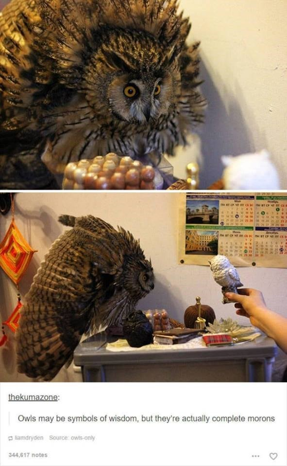 funny tumblr post animals owl scared ruffling up feathers for toy owl Owls may be symbols of wisdom, but they're actually complete morons