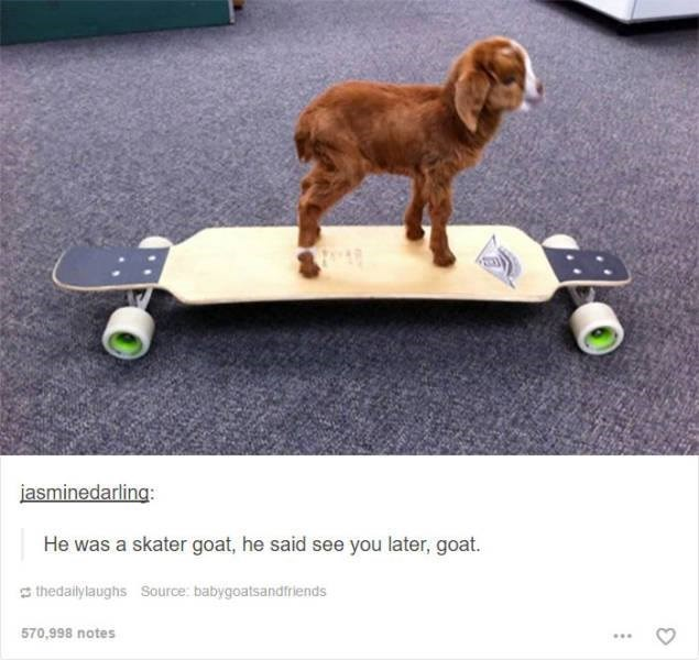 tiny brown goat standing on skateboard funny tumblr post animals He was a skater goat, he said see you later, goat.