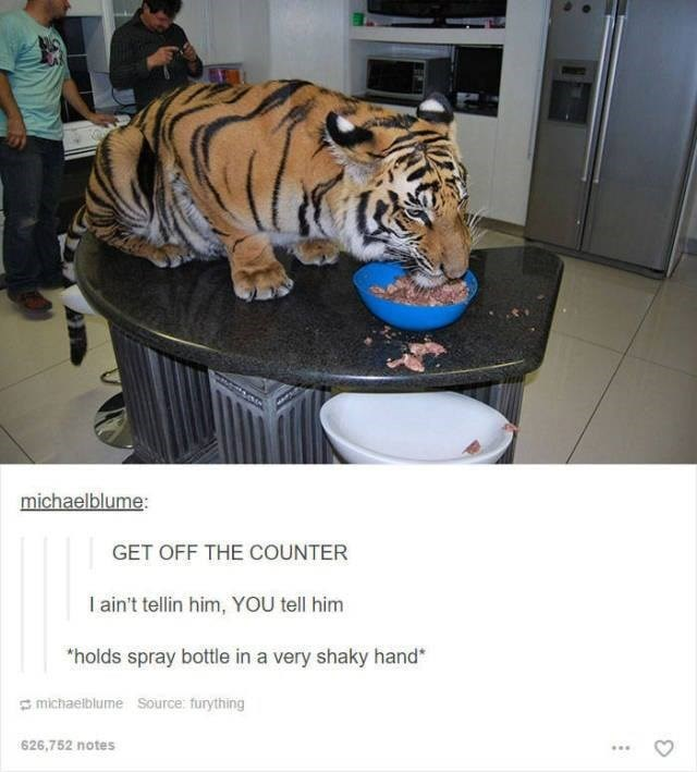 tiger sitting on counter eating food like cat funny tumblr post animals GET OFF THE COUNTER I ain't tellin him, YOU tell him holds spray bottle in a very shaky hand