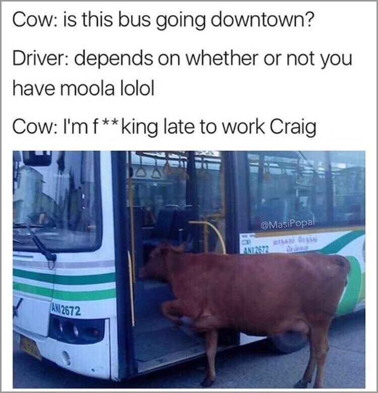 """Cow trying to get on a bus with the caption, """"Cow: is this bus going downtown? Driver: depends on whether or not you have moola; Cow: I'm fucking late to work Craig"""""""
