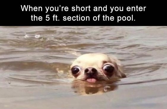 dog meme about entering pools while short with photo of swimming chihuahua dog