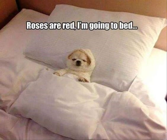 dog meme of a tiny chihuahua dog sleeping in bed