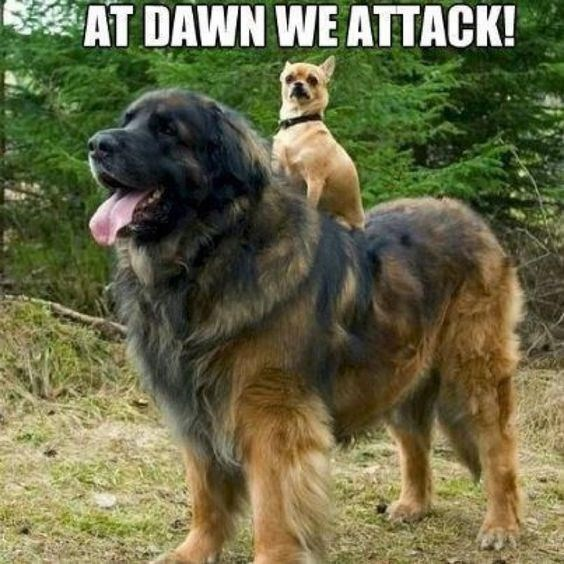 dog meme of a chihuahua dog sitting on the back of a huge dog as if it's riding it into battle