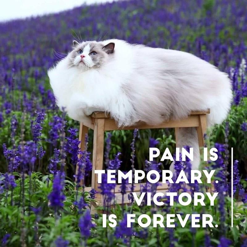 dank meme of very fluffy cat among purple field of flowers