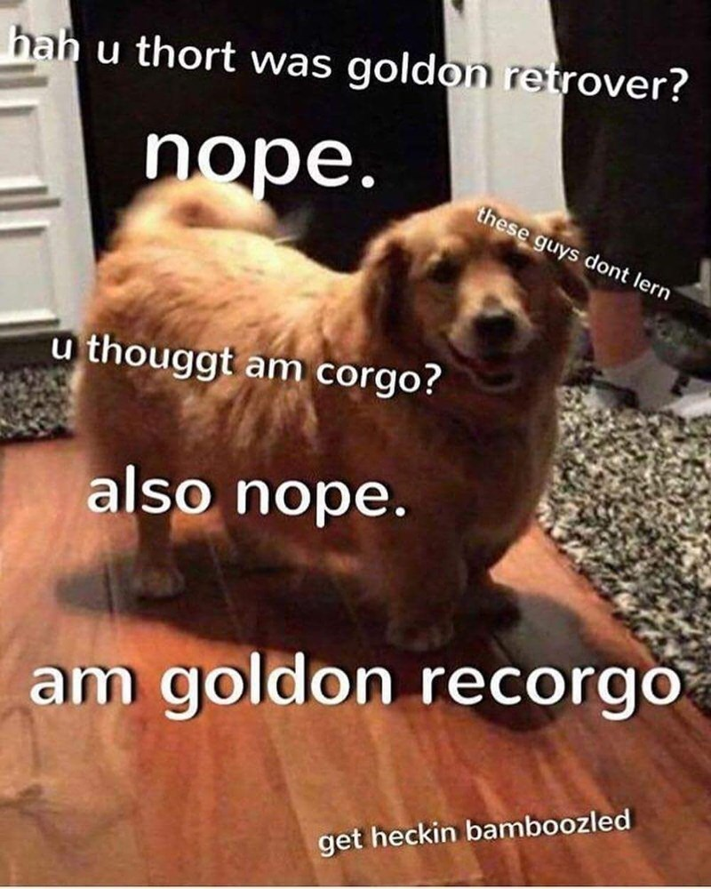 Dog breed - hah u thort was goldon retrover? nope. these guys dont lern thouggt am corgo? u also nope. am goldon recorgo get heckin bamboozled