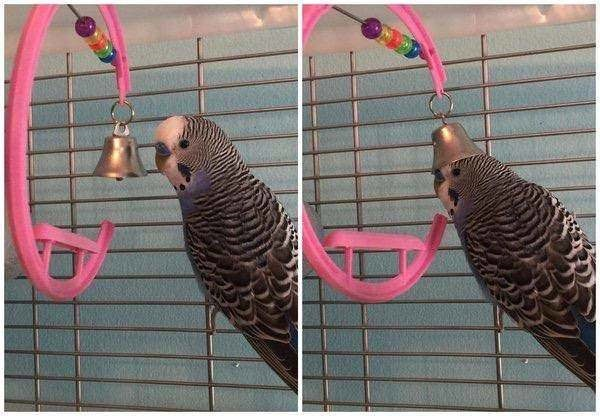 Parrot putting a bell on his head like a hat