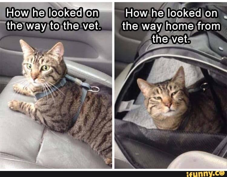 Cat - How he looked on the way to the vet. How he looked on the way home from the vet. ifunny.co