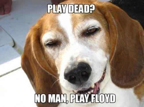 music meme - Dog - PLAY DEAD? NO MAN, PLAY FLOOYD