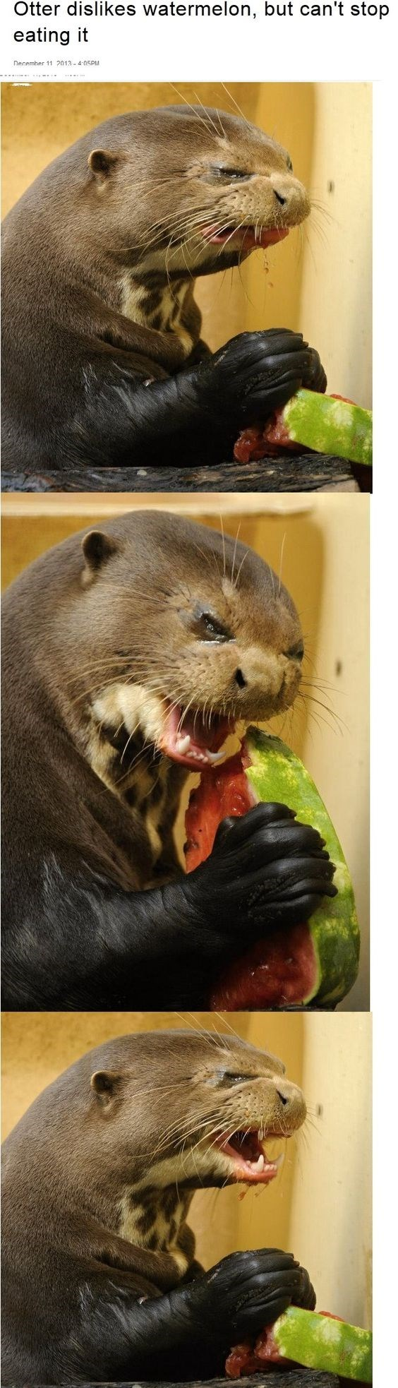 Mammal - Otter dislikes watermelon, but can't stop eating it necemher 11 2013-4 05PM