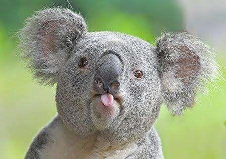 cute animals - Koala