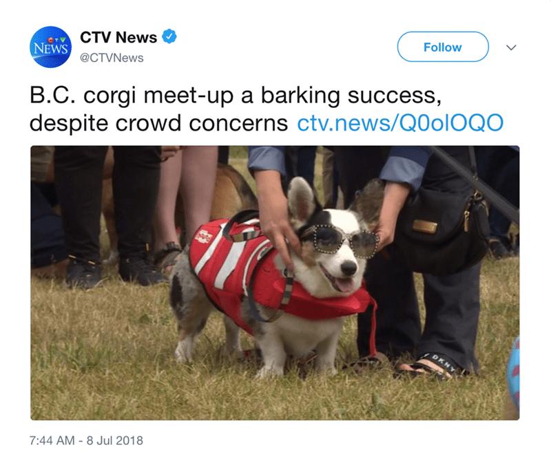 Dog - CTV News CT NEWS Follow @CTVNews B.C. corgi meet-up a barking success, despite crowd concerns ctv.news/Q0OIOQO 7:44 AM - 8 Jul 2018