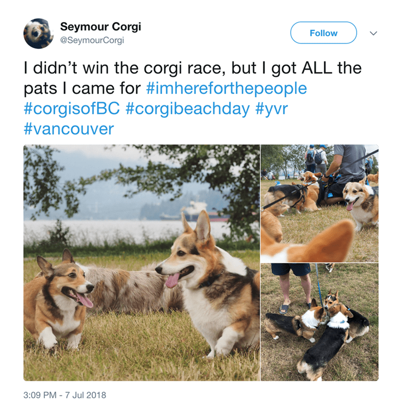 Mammal - Seymour Corgi Follow @SeymourCorgi I didn't win the corgi race, but I got ALL the pats I came for #imhereforthepeople #corgisofBC #corgibeachday #yvr #vancouver 3:09 PM 7 Jul 2018