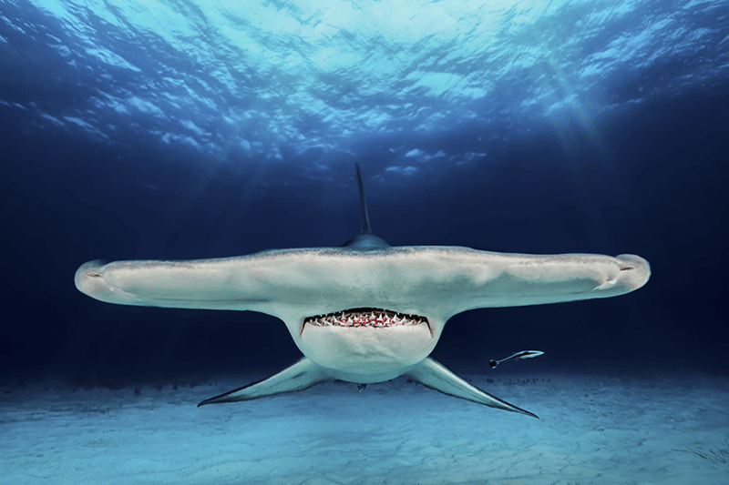 underwater photography contest - Shark - e