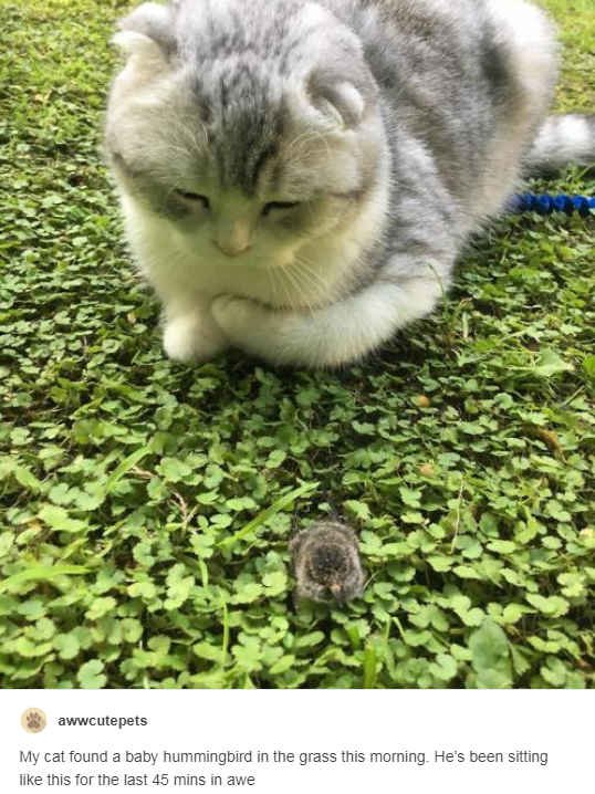 grey and white cat sitting in front of tiny baby hummingbird in the grass