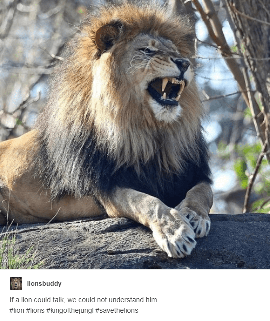 lion sitting on rock roaring