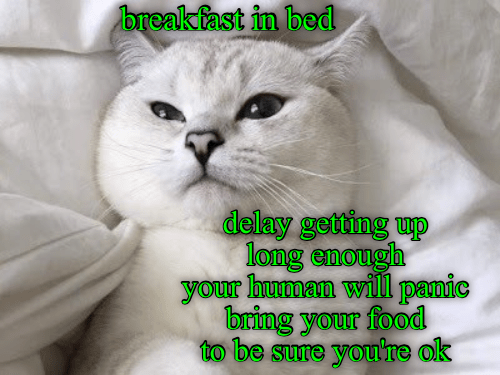 Cat - breakfast in bed delay getting up long enough your human will panic bring your food to be sure you're ok